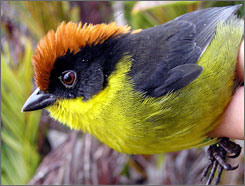 The bright yellow and red-crowned Yariguies brush-finch can be spotted in Colombia.