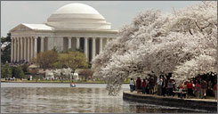 Thousands of tourists converge on the Tidal Basin in Washington to stroll beneath the cherry trees blooming at near-peak last year.