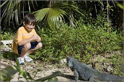 New pal: Nesta Broderick greets a blue iguana on Grand Cayman Island.
