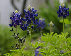 Peak bluebonnet season in Texas typically comes in the first weeks of April.