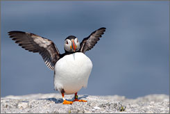 Wave hello: A Puffin wings it at Eastern Egg Rock, Muscongus Bay, Maine.