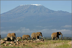 Where are the snows of yesteryear? Elephants amble through Amboseli National Park in Kenya. Behind them is Mount Kilimanjaro, the highest peak in Africa.