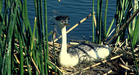 Spring show: The western grebe puts on a memorable mating dance.