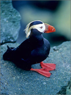 Nesting: Visitors can see the tufted puffin at Oregon Islands refuge.
