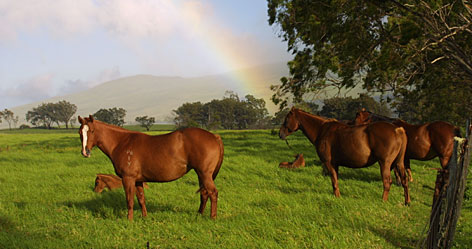 Pot of gold: Foals rest under watchful eyes at Parker Ranch along Big Island of Hawaii Circle Drive.