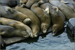 Make a detour to Pier 39 to visit the resident sea-lebrities on the west-side docks.