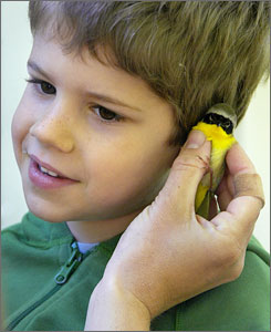 Griffin Peter listens to the heartbeat of a Common Yellow-throated Warbler during a visit to the Braddock Bay Bird Observatory near Rochester, N.Y.