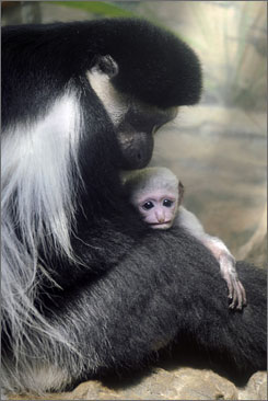 In New York City: Tana, a female colobus monkey, holds her 12-day-old offspring, which was born at the Central Park Zoo on April 26.