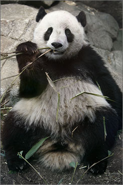 Visit the National Zoo to see giant panda Tai Shan.
