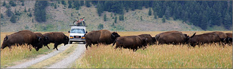 Buffaloed travelers: A group of running bison blocks the way of The World Outdoors support van.