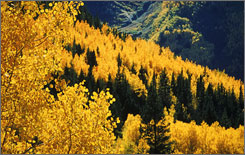 Colorado's aspen trees put on a spectacular show in the fall.