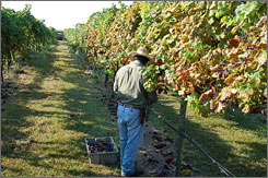 Ripe for the picking: The varietals grown at Brennan Vineyards in Comanche profit from the region's rich soil, warm days and cool nights.