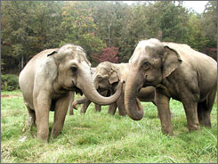 On the wild side: You can help elephants including Delhi, left, Tarra and Winkie by helping out with chores at The Elephant Sanctuary in Hohenwald, Tenn. Volunteers paint, build fencing and fix or construct habitat areas at the 2,700-acre facility.