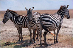 The Ngorongoro Crater area in Tanzania is home to 25,000 animals, including zebras, lions, elephants and rhinos.