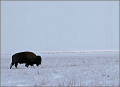 Grazing bison are one of the sights at Theodore Roosevelt National Park in North Dakota, home to one of the USA's most scenic winter drives.
