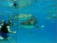 In Grand Bahama: Tiger Beach is named after its biggest denizen, the tiger shark. Diving here is cage diving using a hookah-style air system (air is delivered from a tube from the surface), and you don't have to be a certified diver.
