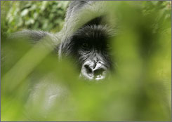 Gorilla trekking is Rwanda's biggest tourist draw by far, but you should take an extra few days for further exploration.