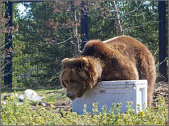 Bears at the Grizzly & Wolf Discovery Center in West Yellowstone, Mont.,  failed to break into the boxes, made of the same tough plastic used in kayaks.