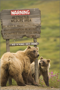 A grizzly bear and her cub pause by the Sable Pass closure sign at the edge of Denali National Park.
