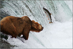 Dinner and a movie: A grizzly bear hunts salmon at Brooks Falls in Alaska's Katmai National Park and Preserve. On Sept. 26, admission to all national parks is free.