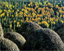 Aspen trees change color in the White Mountains of Arizona.