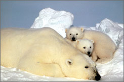 Worldwide, there are 19 known polar bear populations. Two are in Alaska.