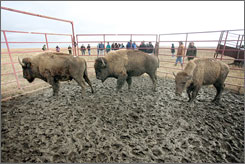 Three young bison brought from South Dakota are released onto the Tallgrass Prairie National Preserve near Strong City, Kan.
