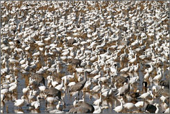 Thousands of sandhill cranes, snow geese and other migratory birds gather at Bosque del Apache National Wildlife Refuge south of Socorro, N.M.