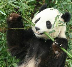Giant Panda Tai Shan, one of the the National Zoo's most popular animals, will be sent to China early next year as part of the panda loan agreement between the Smithsonian Institution and Chinese authorities.