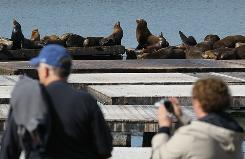 Sea Lions are slowly returning to San Francisco after more than 1,000 inexplicably vanished from Pier 39 in late November.