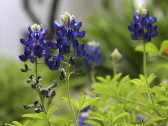 Texas bluebonnets are shown blooming in a bed on the grounds of the Governor's Mansion in Austin, Texas.