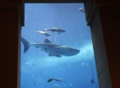 Sammy the whale shark swims inside the aquarium at Dubai's Atlantis hotel in this  2008 photo. Whale sharks are considered a threatened species.