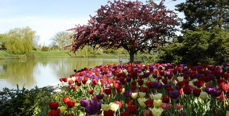 In Chicago: Tulips are in bloom at the Chicago Botanic Garden, where rhododendrons will be on sale.