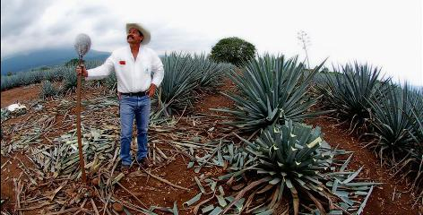 In Mexico: Sample tequila in the town of Tequila, where blue agave, the raw ingredient used to make the liquor, is grown.