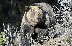 """Experience shows that putting firearms and grizzly bears in the same place ends up with dead grizzly bears,"" said Steve Cain, senior biologist for Grand Teton National Park."