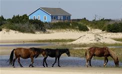 Wild horses roam the beach in Corolla, N.C. A plan backed by the federal government would see the herd reduced from about 115 horses to no more than 60.