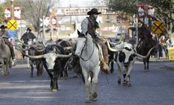 A daily cattle drive takes place at the stockyards in Fort Worth, Texas.