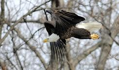 A mature eagle takes flight at Kentucky Lake in Henderson, Ky, Jan. 14.
