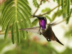 A Lucifer Hummingbird in Sierra Vista, Ariz. From the sandhill crane to the red-faced warbler, rock stars of the birding world have spawned a tourism industry in Arizona.