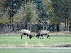 Two bull elk vie for dominance during the fall rut in Estes Park. Most fights are brief, as the bulls must avoid injury and conserve their energy to survive the winter.