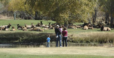 A bull elk sits with his herd on the 9-hole golf course in Estes Park, Colo. The elk come looking for romance; the tourists come looking for elk.