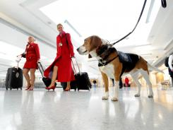 Hudson, a U.S. Customs and Border Protection beagle trained to find food in luggage, in the international arrivals area at Dulles International.