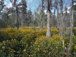 Bur marigolds bloom in the swamp of Barataria Preserve in Marrero.