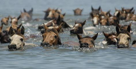 Chincoteague ponies make their way across Assateague Channel during the 86th annual Wild Pony Swim, July 27, 2011.