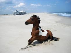 A wild horse roams on the beach within a short distance of campers at Assateague Island National Seashore, Md.