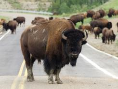 One curious Buffalo stands in the middle of the road on a 36-mile scenic loop drive in Theodore Roosevelt National Park.