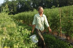 Organic grower Amy Hicks harvests tomatoes on her farm in Charles City, Va., in July. Specialty items like their melons and heirloom tomatoes are coming into season.