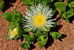 Sceletium tortuosum, an native plant of South Africa, is said to reduce stress, relieve hunger, sedate and elevate moods.