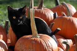 A black cat sits in a patch of pumpkins in Parker, S.D.
