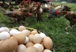 The drop in cholesterol may be because of changes in hens' diets, the way the animals are bred or other factors.